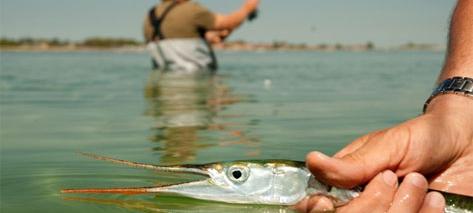 Hornfisk_WEB2